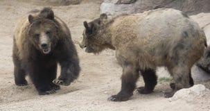 一个北美灰熊对准备对峙 图库摄影