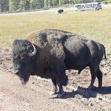 一个北美野牛公牛在徒步旅行队公园 库存图片