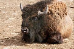 一个北美野牛画象  免版税库存图片