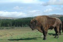 一个北美野牛的图片在苏格兰徒步旅行队公园, 免版税库存照片