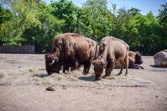 一个北美野牛的画象在动物园里 库存照片