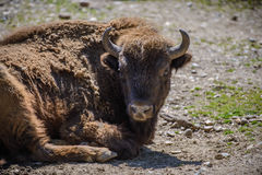 一个北美野牛的画象在动物园里 免版税库存图片