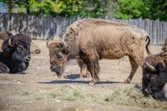 一个北美野牛的画象在动物园里 库存图片
