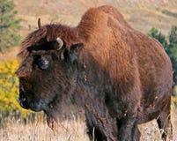 一个半有角的北美野牛水牛城在风穴国家公园在南达科他美国黑山  库存图片