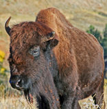 一个半有角的北美野牛水牛城在风穴国家公园在南达科他美国黑山  库存照片