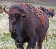 一个半有角的北美野牛水牛城在Custer国家公园在南达科他美国黑山  免版税图库摄影