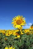 一个卓著的向日葵 库存照片
