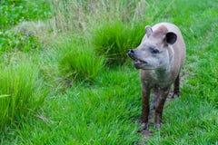 一个南美貘科学名字的特写镜头照片:貘类动物terrestris 图库摄影
