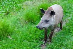 一个南美貘科学名字的特写镜头照片:貘类动物terrestris 免版税库存照片