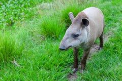 一个南美貘科学名字的特写镜头照片:貘类动物terrestris 库存图片