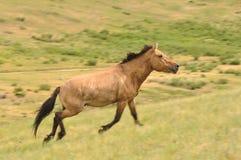 一个危险的公马野马在蒙古 库存图片