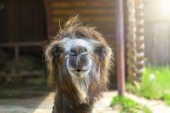 一个双峰的骆驼特写镜头 Nizhny Novgorod俄国 2 库存图片