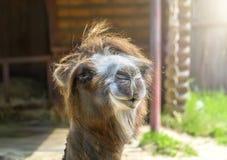 一个双峰的骆驼特写镜头 Nizhny Novgorod俄国 3 库存图片