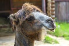 一个双峰的骆驼特写镜头 Nizhny Novgorod俄国 免版税库存图片