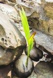 一个发芽的椰子漂泊 免版税库存照片