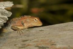 一个变色蜥蜴的图象在自然背景的 爬行动物 敌意 库存图片