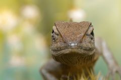 一个变色蜥蜴的图象在自然背景的 爬行动物 敌意 免版税库存照片