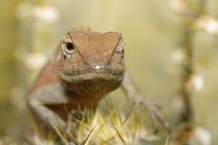 一个变色蜥蜴的图象在自然背景的 爬行动物 敌意 库存照片