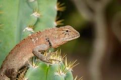 一个变色蜥蜴的图象在自然背景的 爬行动物 免版税图库摄影