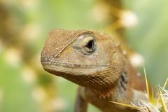 一个变色蜥蜴的图象在自然背景的 爬行动物 免版税库存图片