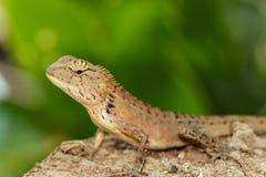 一个变色蜥蜴的图象在自然背景的 爬行动物 图库摄影