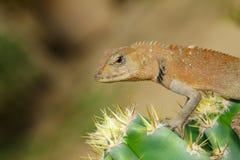一个变色蜥蜴的图象在自然背景的 爬行动物 库存照片