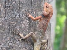 一个变色蜥蜴 库存照片