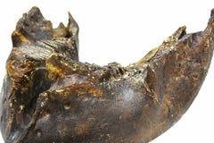 一个古老庞然大物的下颌的被隔绝的片段在白色背景的 库存照片