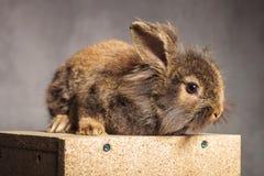 一个可爱的棕色狮子头兔子兔宝宝的侧视图 库存图片