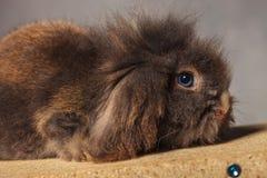 一个可爱的狮子头兔子兔宝宝的侧视图图片 免版税库存照片