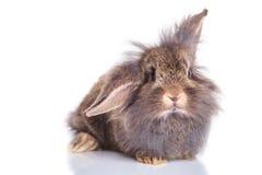 一个可爱的狮子头兔子兔宝宝的正面图 库存图片