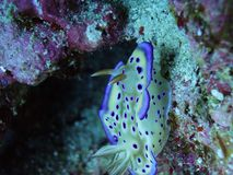 一个可爱的紫色斑点Ovula (卵子) 免版税图库摄影