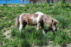 一个吃草的小马 库存图片