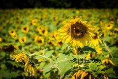 一个向日葵在Jarrettsville,马里兰 免版税库存图片