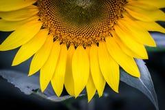 一个向日葵在Jarrettsville,马里兰 库存照片