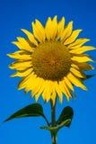 一个向日葵头的特写镜头反对蓝天的 免版税库存照片