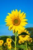 一个向日葵头的特写镜头有蜂的坐它 库存图片