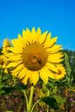 一个向日葵头的特写镜头有蜂的坐它 库存照片