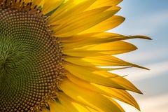 一个向日葵的大花反对晚上天空的 库存照片