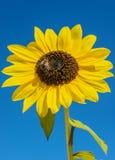 一个向日葵的特写镜头在打击的 图库摄影