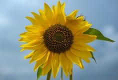 一个向日葵的特写镜头在打击的 库存图片