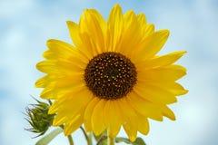 一个向日葵的特写镜头在打击的 免版税库存图片