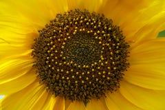 一个向日葵的特写镜头在打击的 免版税库存照片