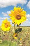 一个向日葵的花在领域和天空背景的  库存图片