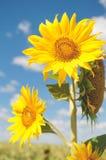 一个向日葵的花在领域和天空背景的  免版税库存图片