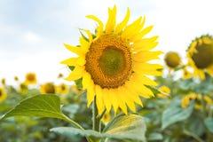 一个向日葵的花在领域的 免版税库存照片