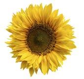 一个向日葵的黄色花在被隔绝的白色背景的与裁减路线 特写镜头 没有影子 免版税库存图片