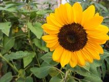 一个向日葵的画象在领域的 免版税库存图片