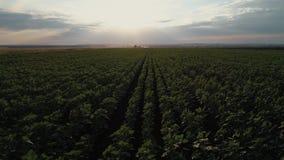 一个向日葵领域的航拍在日落的 绿色向日葵领域有概略的看法 股票视频