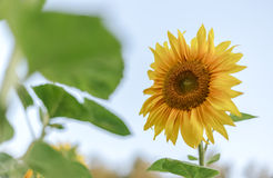 一个向日葵 库存图片